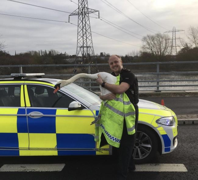 Swan saved by police. Picture: TVP Roads Policing